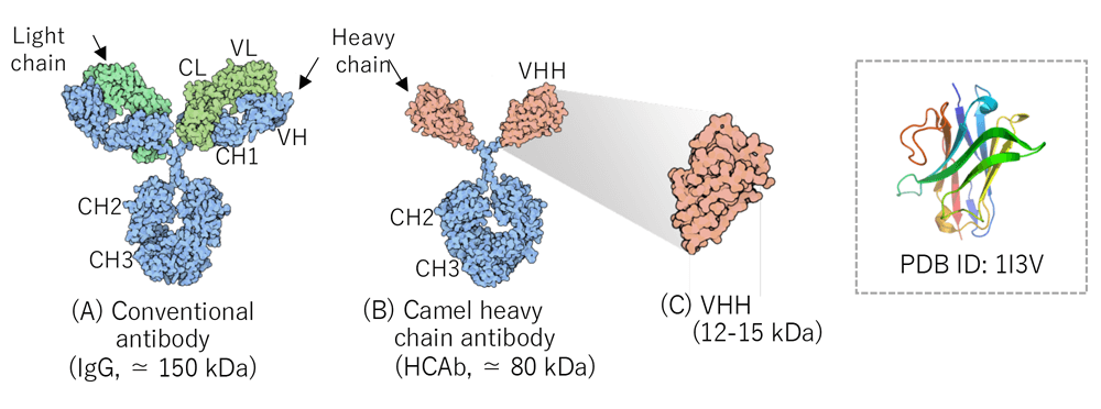What is a VHH antibody?